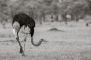 Ostrich, Serengeti