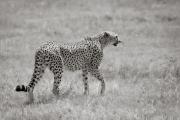 Cheetah, Ngorongoro Crater