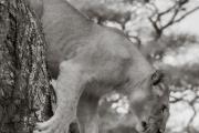 Loness, Serengeti