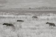 Hyenas, Serengeti