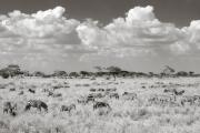 Zebras, Serengeti