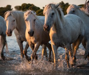 horses in the Camargue